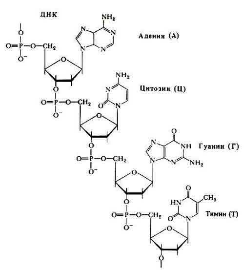 Четыре нуклеотида ДНК и РНК,
