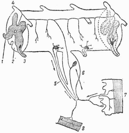 Схема рефлекторной дуги в