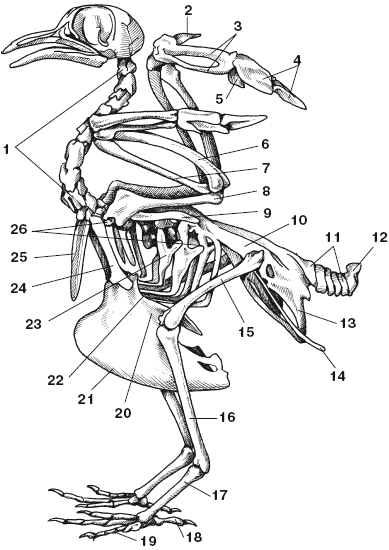 Скелет голубя: