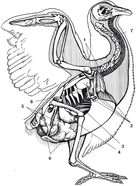 внутренними органами,