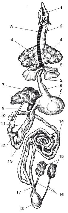 Внутренние органы голубя: