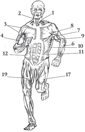 Основные мышцы человека (вид