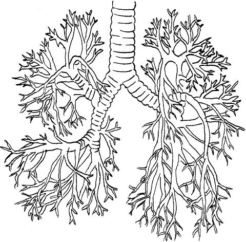 Схема строения бронхиального дерева.